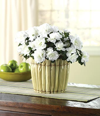 Azalea delivery with white flowers