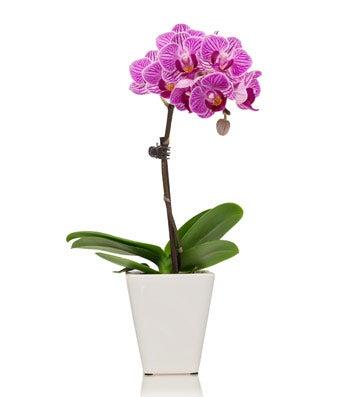 Mini Orchid Plant