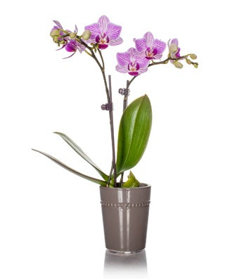 Pink Mini Orchid Plant