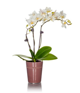 White Mini Orchid