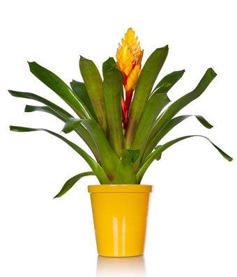Sunburst Bromeliad