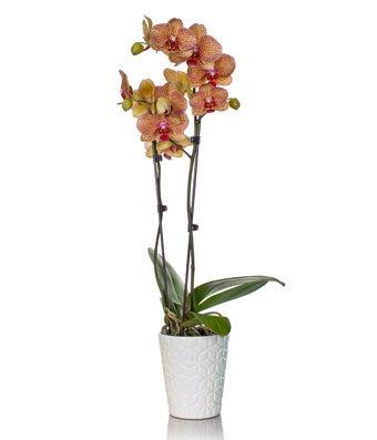 Sunshine Orchid