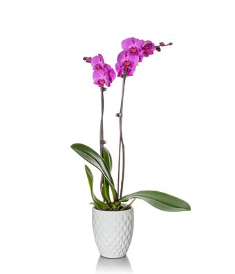 Magenta Orchid Plant