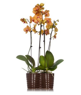 Sunrise Orchid Planter
