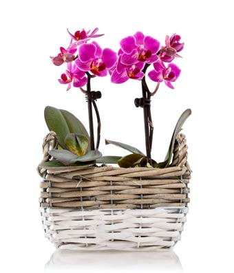 Mini Pink Phalaenopsis Orchids