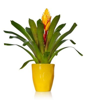 BiColor Bromeliad Plant