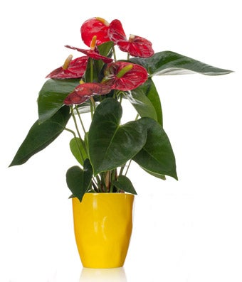 Wild Lemon Anthurium Plant