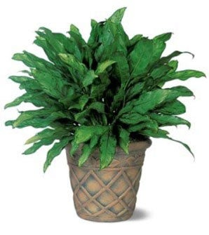 Algaonema green indoor potted plants chinese evergreen at from you flowers - Indoor potted flowers ...