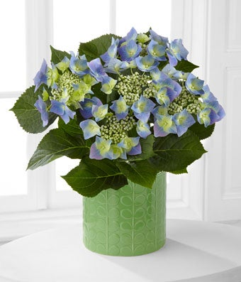 Flowers - Serene Skies Lacecap Hydrangea Plant by Better Homes and Gardens - Regular Offering cool hues to complement the sunny days of the season, this beautiful blooming hydrangea is sure to delight your special recipient. Perfectly lush and gorgeous at every turn, this hydrangea plant displays clouds of light blue blooms amongst brilliant green foliage to create an exceptional presentation. Arriving seated in a light green designer embossed ceramic container, this stunning blooming plant will make an unforgettable birthday, thank you, or get well gift. Plant measures 6.5-inches in diameter.