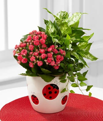 Lady Bug Love Dish Garden - Regular The Lady Bug Love Dish Garden is full of summertime fun and blooming beauty to create a gift that sends your warmest wishes to friends and family near and far! A stunning kalanchoe plant exhibits sprays of tiny bright pink blooms amongst lush green foliage to create a wonderful look. Planted amongst two brilliant green plants, both an ivy and a diffenbachia, and presented in a sweet ladybug inspired designer ceramic container, this beautiful collection of plants will make that perfect birthday, thank you, or just because gift.