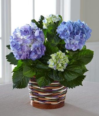 Harvest Moon Hydrangea Plant