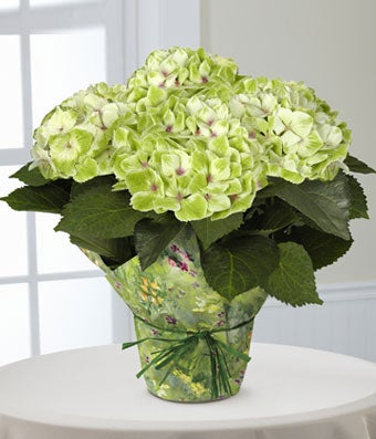 Flowers - Better Homes and Gardens Jade Dreams Nobless Hydrangea - Regular The FTD Jade Dreams Nobless Hydrangea Plant by Better Homes and Gardens is an exquisite gift of life and love! A stunning hydrangea plant arrives blossoming with clouds of jade green flowers amongst its large dark leaves to create a wonderful presentation. Arriving wrapped in a designer green floral paper tied with a green raffia ribbon, this blooming plant will make a remarkable Mother's Day, Easter, birthday, or thank you gift. Plant measures 6.5-inches in diameter.