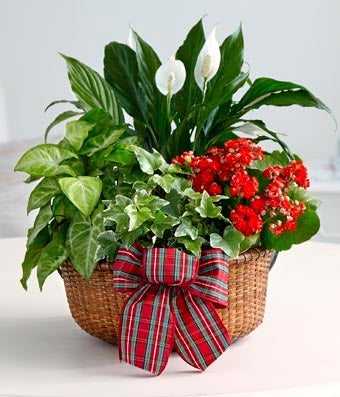Flowers - Merry and Bright Holiday Dish Garden - Regular The Merry and Bright Holiday dish garden is a beautiful, living gift to send to loved ones this year. Featuring a red Kalanchoe plant, a peace lily, variegated ivy and a variegated nephthytis plant together in a woven basket adorned with a holiday plaid bow, this garden will make a festive addition to anyone's holiday decor. Basket is approximately 10-inches in diameter.