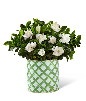 Garden's Grace Gardenia Plant - Better - Regular Our Garden's Grace Gardenia Plant blooms with a flowering finesse and alluring fragrance to create the perfect gift! A stunning gardenia plant arrives flaunting beautiful white blooms amongst glossy green foliage to make an unforgettable impression on your special recipient. Presented in a natural woven basket, this blooming plant is set to make incredible for any occassion. Includes:  Gardenia Plant  White Container with Green Latice  6 Inches in Diameter