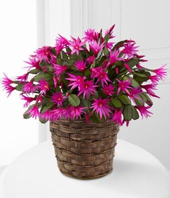 Purple Cactus Plant