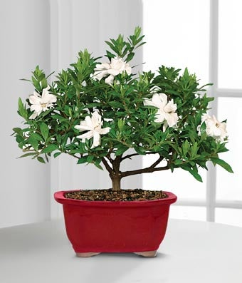 Flowers - Scenic Snowfall Holiday Gardenia Bonsai - 6-inch - Regular The Scenic Snowfall Holiday Gardenia Bonsai offers your special recipient seasonal beauty and sweet fragrance with its graceful white blooms just in time to celebrate this time of year! An exceptional gardenia bonsai displays its lush foliage and snowy white flowers to capture their every attention. Presented in a festive red ceramic planter, this blooming bonsai plant will be an unforgettable way to send your warmest season's greetings to all of the special people on your holiday shopping list. Plant measures 6-inches in diameter.