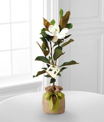 Flowers - The FTD Southern Sensibilities Magnolia Tree by Better Homes and Gardens - Regular FTD proudly presents the Better Homes and Gardens Southern Sensibilities Magnolia Tree. Widely known as one of the most popular flowering trees in the world, this magnolia will make an exceptional gift to mark any of life's special occasions. Gorgeous white flowers are set to bloom from this tree throughout the spring and summer months, while the lush green foliage can be appreciated all year long. Presented in a burlap bag tied with a sage green ribbon, this flowering tree will make an exceptional gift to celebrate the birth of a new baby, a graduation, to help you express your thanks and gratitude or to offer as a housewarming gift. Adaptable to many growing conditions. Intended to be planted and appreciated outdoors.