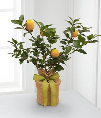 The FTD� Citrus Sightings Lemon Tree by Better Homes and Gardens�
