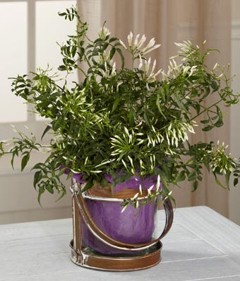 Flowers - Be the Light Jasmine Plant by Better Homes and Gardens - Regular Spread love and light to your loved ones this spring season with this simply beautiful jasmine plant boasting tiny white blooms, lush foliage, and an attractive light fragrance. Presented wrapped in a jewel-toned purple fabric and placed in a designer glass lantern inspired container that gives it a rustic and appealing trend forward styling, this blooming plant will make an excellent thank you, birthday, or Mother's Day plant. Includes:  Jasmine Plant  Purple Fabric Wrapped Planter  Personalized Card Message