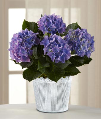 Flowers - The FTD Vintage Beauty Hydrangea Plant by Better Homes and Gardens - Regular FTD proudly presents the Better Homes and Gardens Vintage Beauty Hydrangea Plant. Blossoming with a gorgeous garden grace that your special recipient will love, this eye-catching hydrangea plant to set to bring beauty to any of your spring celebrations! An unforgettable hydrangea plant displays clouds of purple blooms amongst its large dark green leaves to create a gift your special recipient will adore. Presented in a designer vintage inspired woodchip container with an attractive hydrangea print around the outside, this blooming plant will make an exceptional Mother's Day, Easter, birthday, or thank you gift. Plant measures 4.5-inches in diameter.