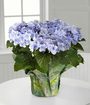 Periwinkle hydrangea plant delivered