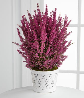 The FTD Sweet Wishes Valentine Day Heather Plant by Better Homes and Gardens - Regular FTD proudly presents the Better Homes and Gardens Sweet Wishes Heather Plant. Bursting with your adoration and affection, this perfectly pink heather plant is sure to impress your special someone this coming Valentine's Day. Presented in a white lattice container, this beautiful plant will convey your heart's every wish with each tiny pink bloom this coming February 14th. Plant measures 4-inches in diameter.