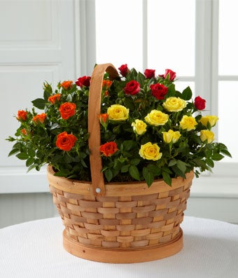 Flowers - The FTD Blooms of Fall Rose Garden Basket by Better Homes and Gardens - Regular FTD proudly presents the Better Homes and Gardens Blooms of Fall Rose Garden Basket. Have them bask in the glow of our sweetest mini rose plants in every Autumn hue. A gorgeous natural woven basket arrives bursting with mini rose plants in shades of rich red, bright orange and eye-catching yellow to create a sensational seasonal gift.