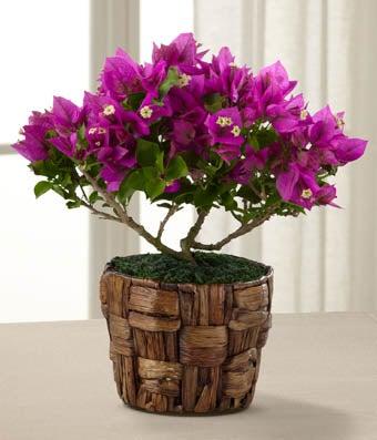 Flowering Fuchsia Bougainvillea Plant 4.5-inch