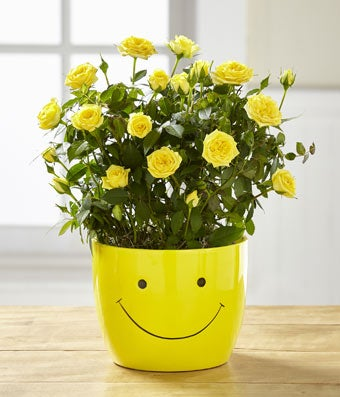 Mini Yellow Rose Smiley Plant