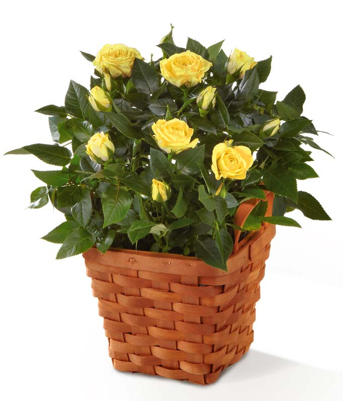 Orange mini rose plant delivered in a woven basket