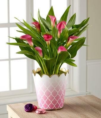 Valentine's Day Calla Lily Plant with Hebert� Chocolates