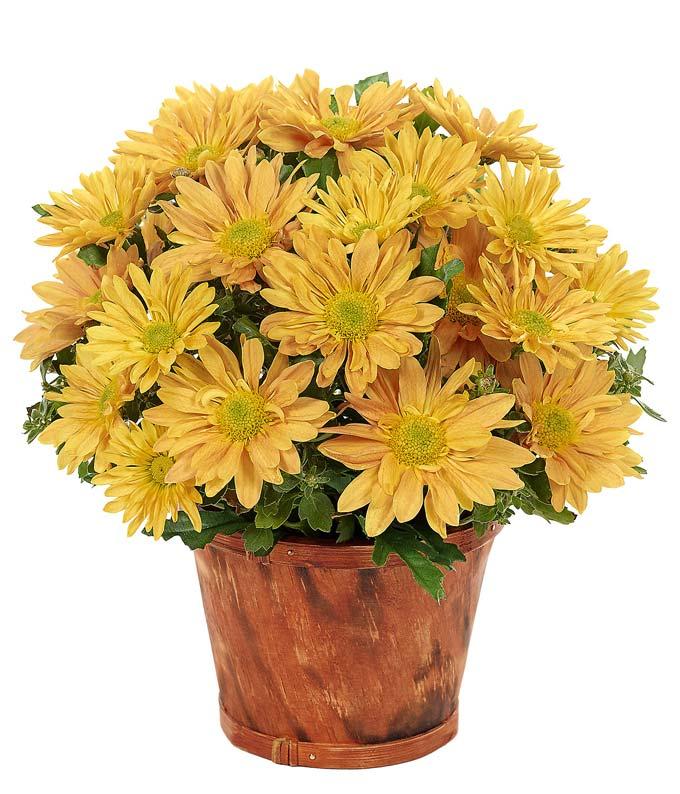 Fall Daisy Plant