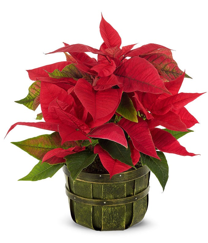 Red poinsettia in a green bushel pot