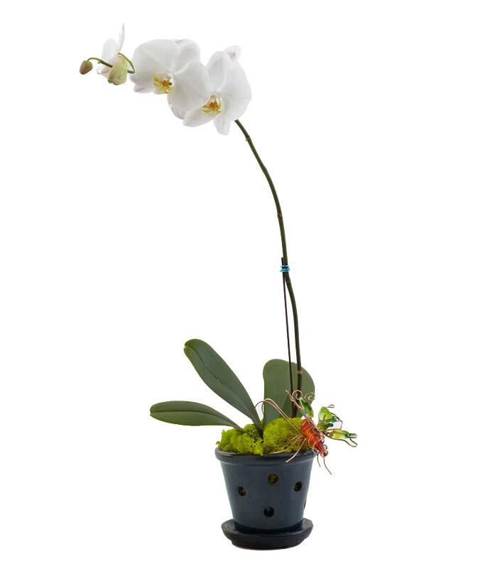 Opulent Orchids -...