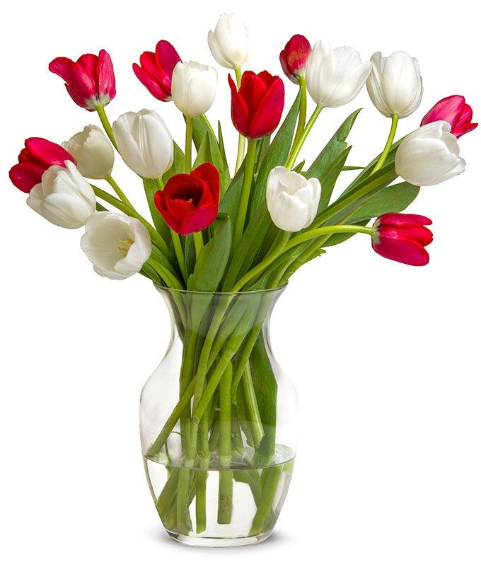 One Dozen Christmas Tulips