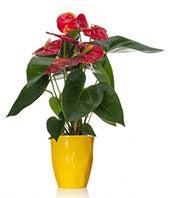Wild Lemon Anthurium Plant