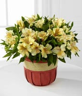 Rise & Shine Springtime Peruvian Lily Plant