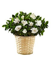 Garden's Grace Gardenia Plant