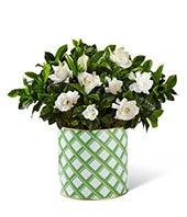 Garden's Grace Gardenia Plant - Better