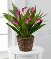 Autumn Elegance Calla Lily Plant