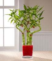 Valentine bamboo plant in shape of a heart