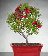 Holiday bonsai plant for delivery with red berries