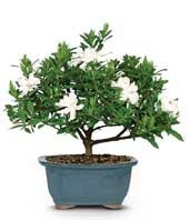 White flowering bonsai plant for Mother's Day delivery