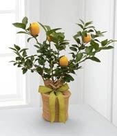 The FTD® Citrus Sightings Lemon Tree