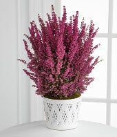 Valentine Heather Plant by Better Homes and Gardens�