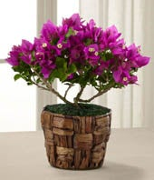 The FTD� Flowering Fuchsia Bougainvillea Plant