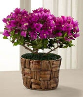 The FTD� Fuchsia Bougainvillea Plant