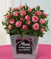 Mom is Love Mini Rose Plant