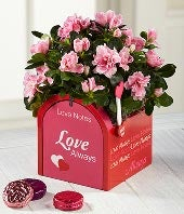Love Notes Valentine's Day Azalea with Chocolate