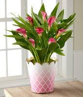 Valentine's Day Calla Lily Plant